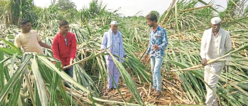 Crops lying in Lohgaon due to rains with strong winds