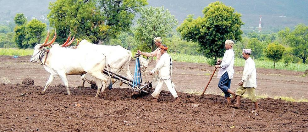 गव्हू, पेरणी, थंडी गायब, पेरणी लांबवी The cold snap delayed the sowing of wheat