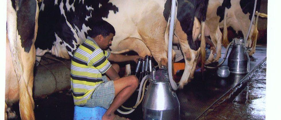 Hygiene should be maintained while milking