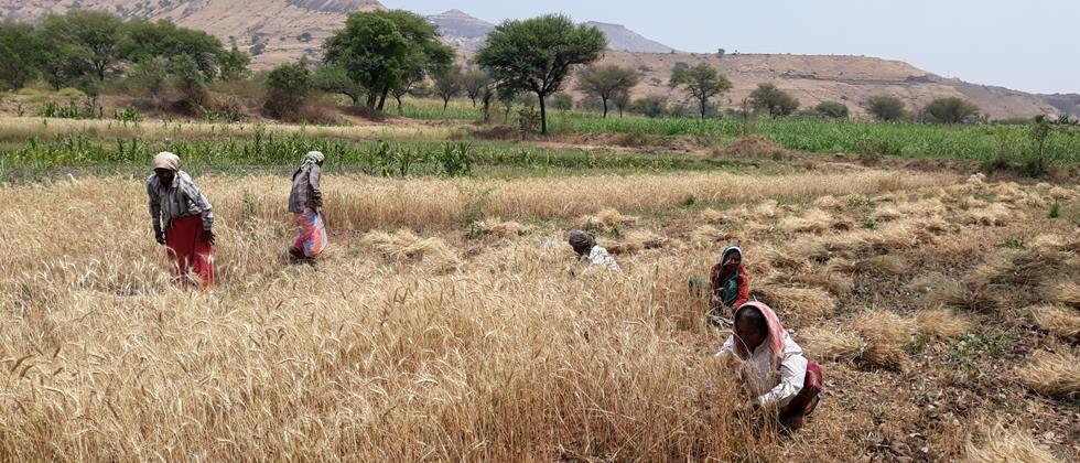 Rabi crops speed up in Satara district