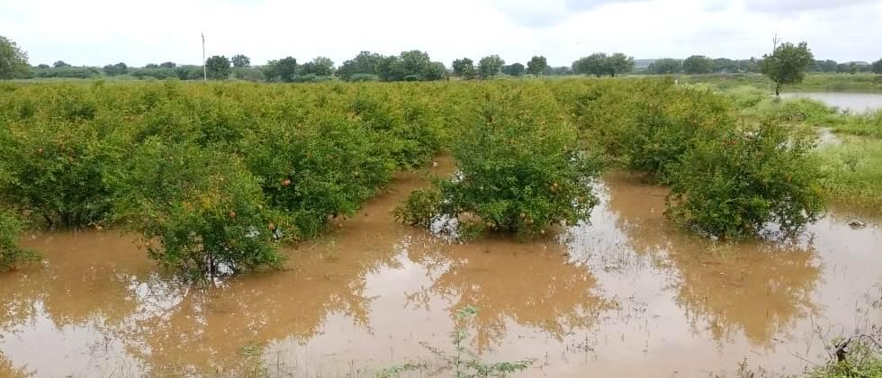 More than Rs 50 crore damage to pomegranate orchards