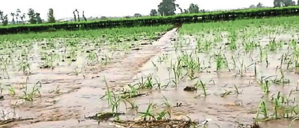 Satisfaction among farmers due to heavy rains in Nashik district