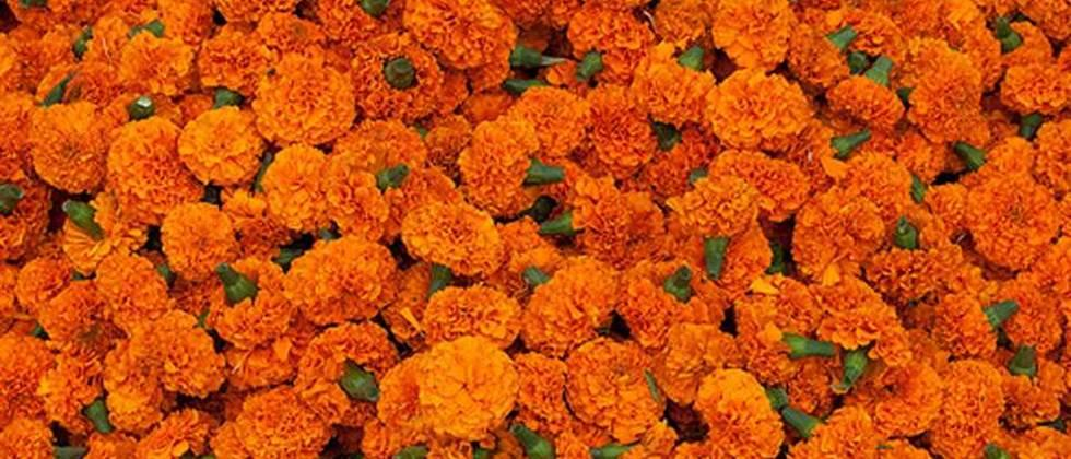 Marigold prices continued to rise on Diwali