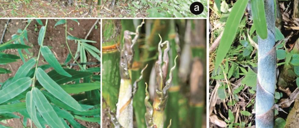 Discovery of a new species of bamboo from the Sahyadri range