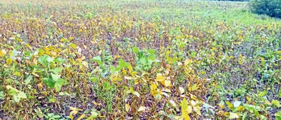soybean crop damage due to rain