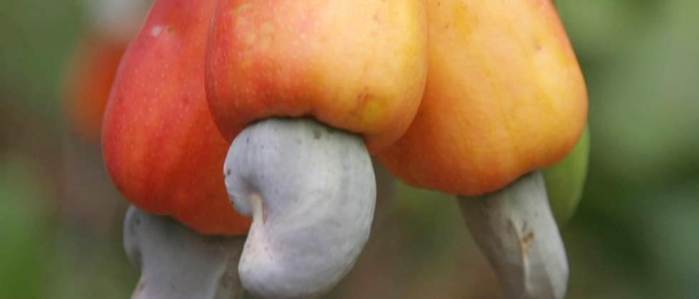 Some brokers try to buy cashew nuts at low rates