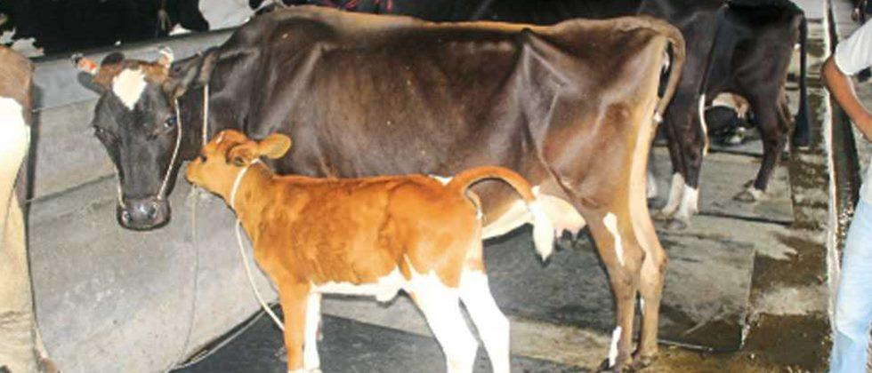 There will be an inquiry into the distribution of milch animals