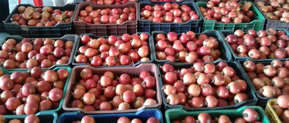 The pomegranate dealers in Sangola rebounded