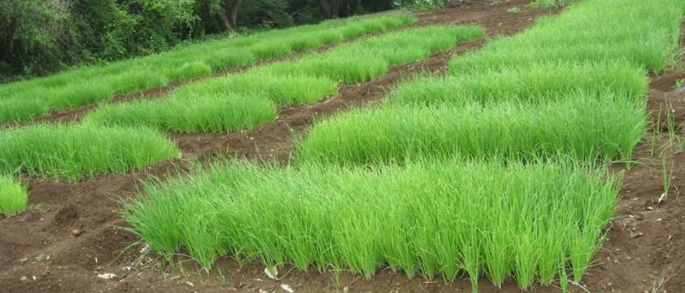 The condition of onion nurseries in Khandesh is critical