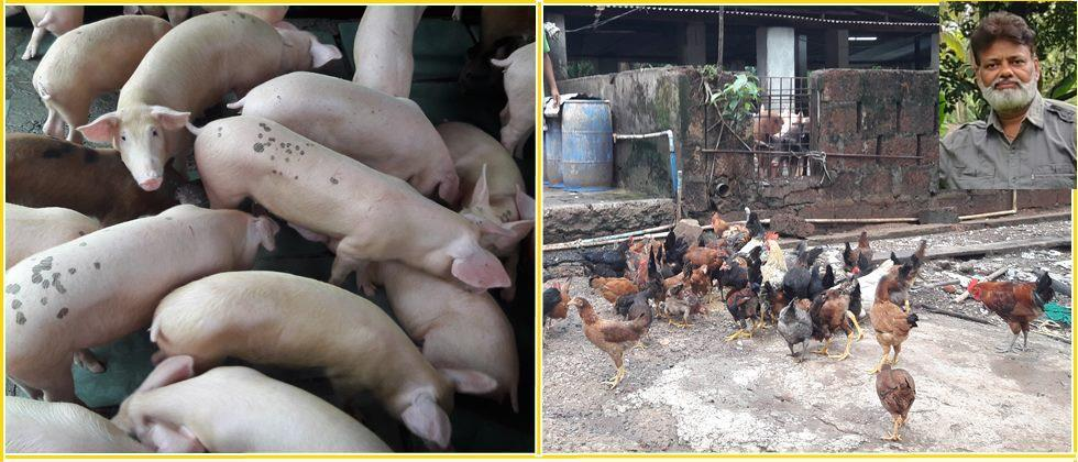 pigs and poultry farming