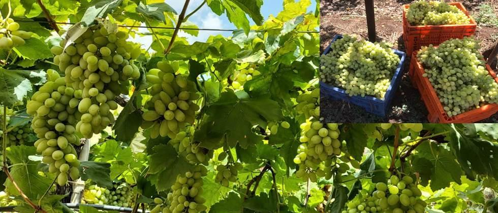 Grapes ready for export to Saudi Arabia during the lockdown period