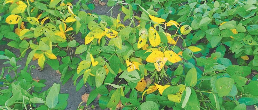 'Yellow mosaic' on soybeans in Ujani area