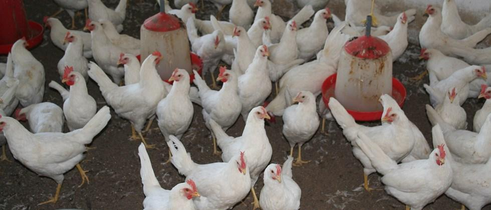 management of poultry birds diseases