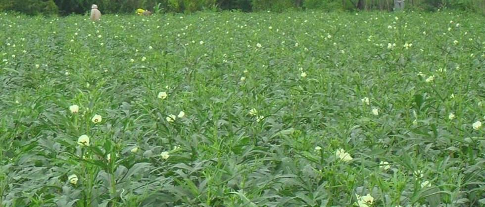 Improved varieties of Okra should be cultivated