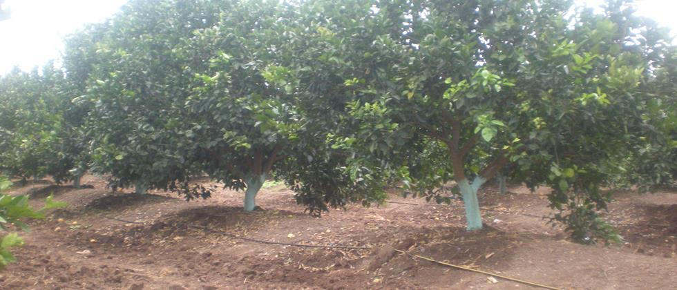 apply bordo paste on stem of trees and use drip irrigation method for irrigation