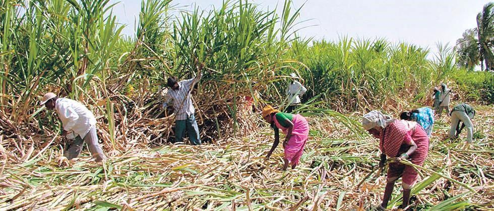 sugarcane cutting workers allow to return home