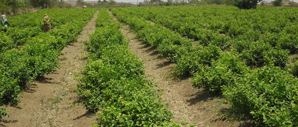 planning of jasmine flowers cultivation