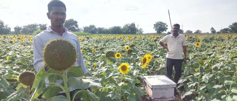 honey boxes kept for pollination in sunflower crop