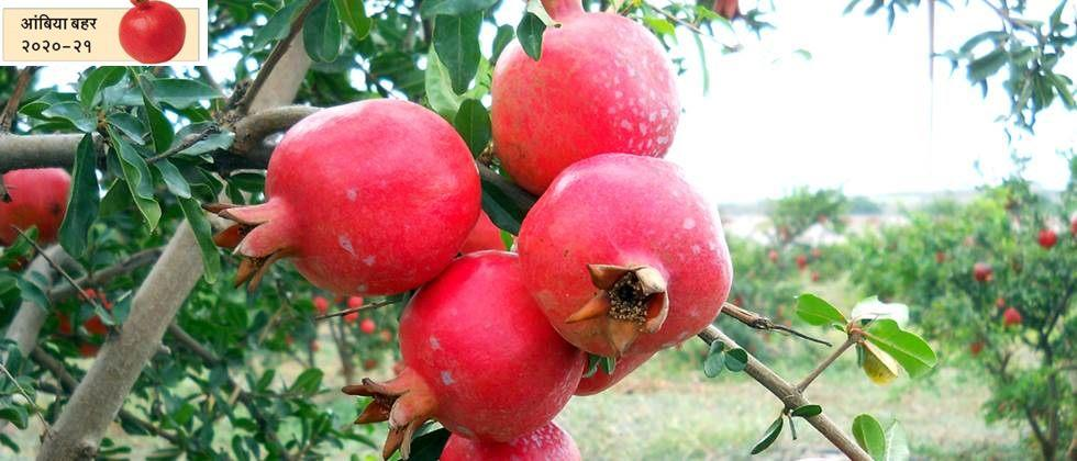 Weather based fruit crop insurance scheme for pomegranate