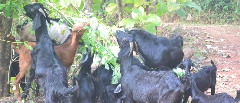 Green fodder should be used in the diet of goats.