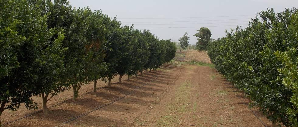 Land selection is important in citrus orchard cultivation.