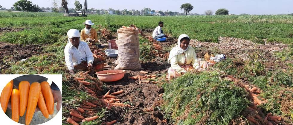 harvesting of carrot takes place in morning time