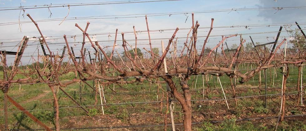 Grapes Advice management After Fruit pruning