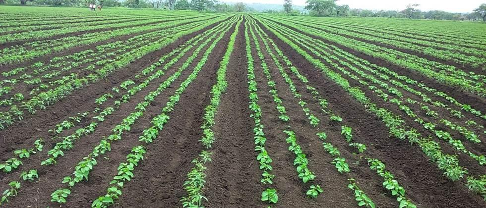 Farmers in Varada are more inclined towards soybean