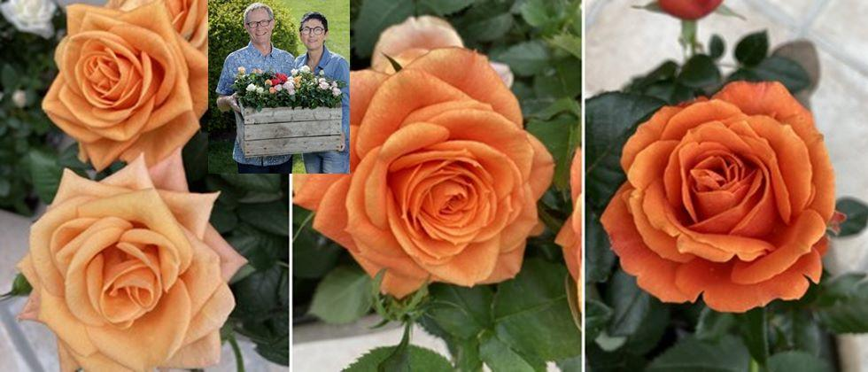 Demand changes with color in pot roses