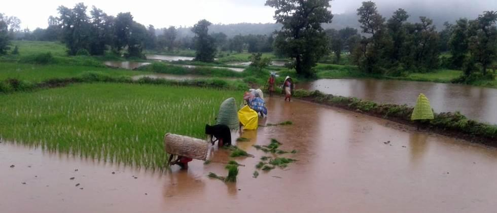 Paddy cultivation is low in akole