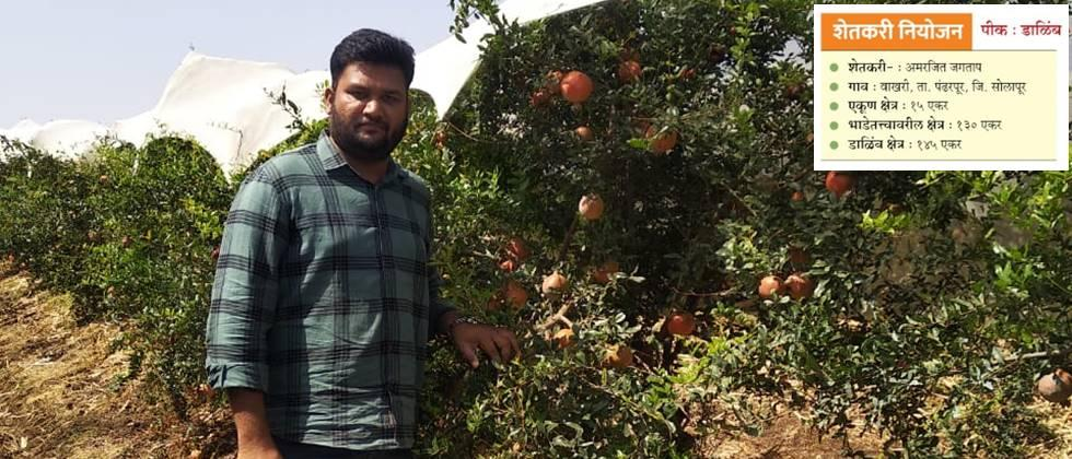 Amarjit Jagtap in his pomegranate orchard.