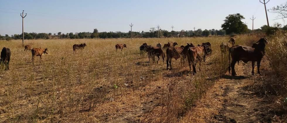 Fodder scarcity in Pune district