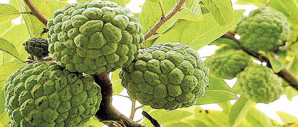 Nutritious custard apple