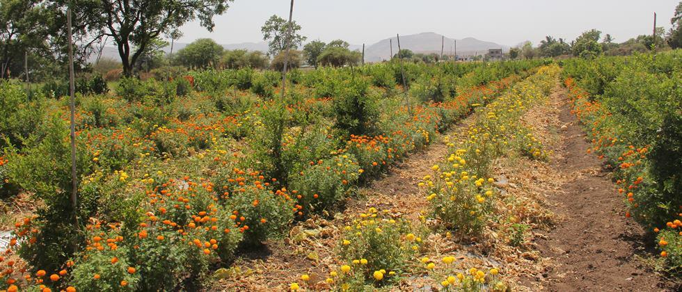intercrop of marigold in pomegranate