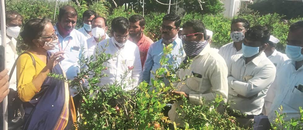 Diseased pomegranate in Sangola Inspection of gardens by experts