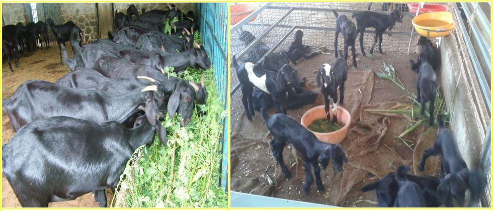 Important issues in goat farming