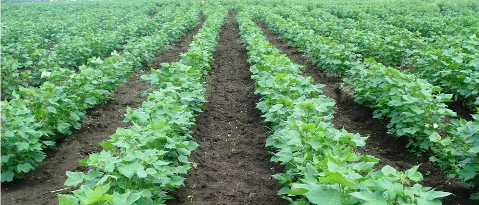 Bt cotton should be planted at a spacing of 120 by 45 cm.
