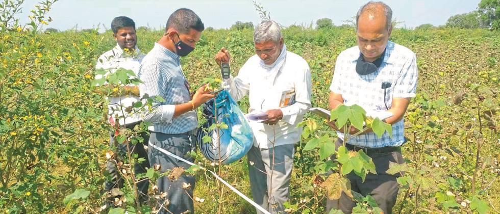 Two from the cotton crop harvest Production of 2 kg 375 gms in bullets