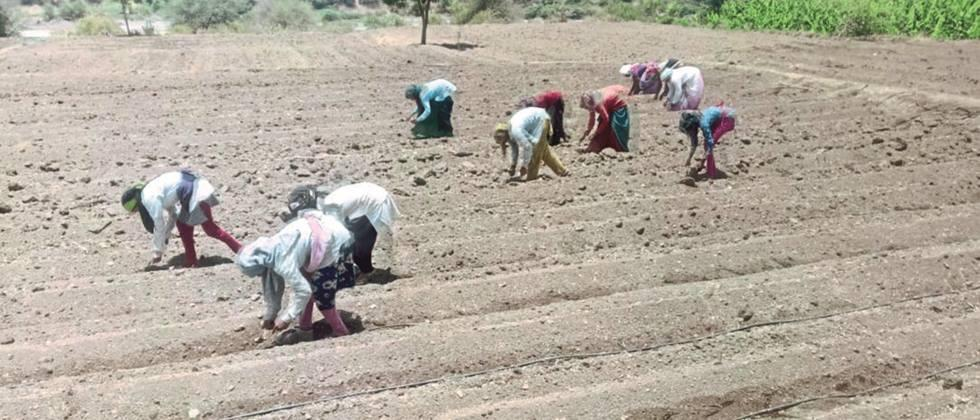 In the eastern part of Nashik district Pre-season cotton cultivation slowed down