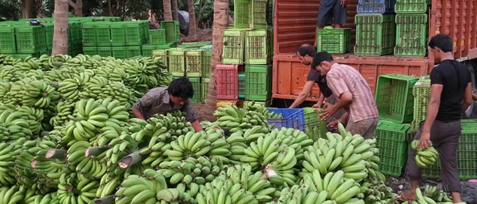 Bananas rate Rs 400 to Rs 1,100 per quintal in the state