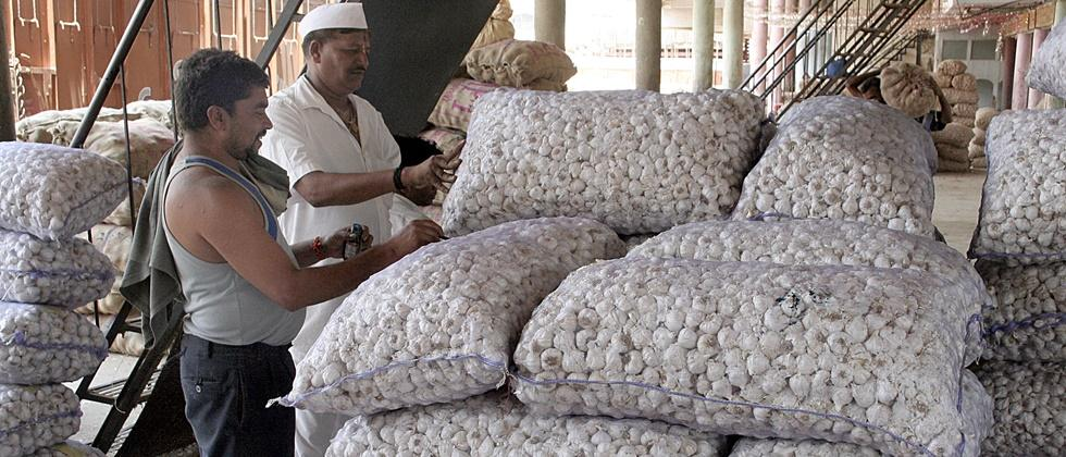 Garlic arrivals in Nashik are normal; The rate is stable