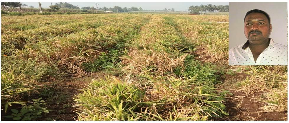 economics sugarcane and ginger crop production