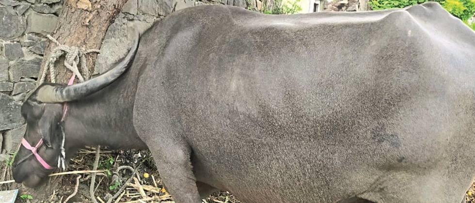 Need for joint efforts for conservation and development of Marathwadi buffaloes