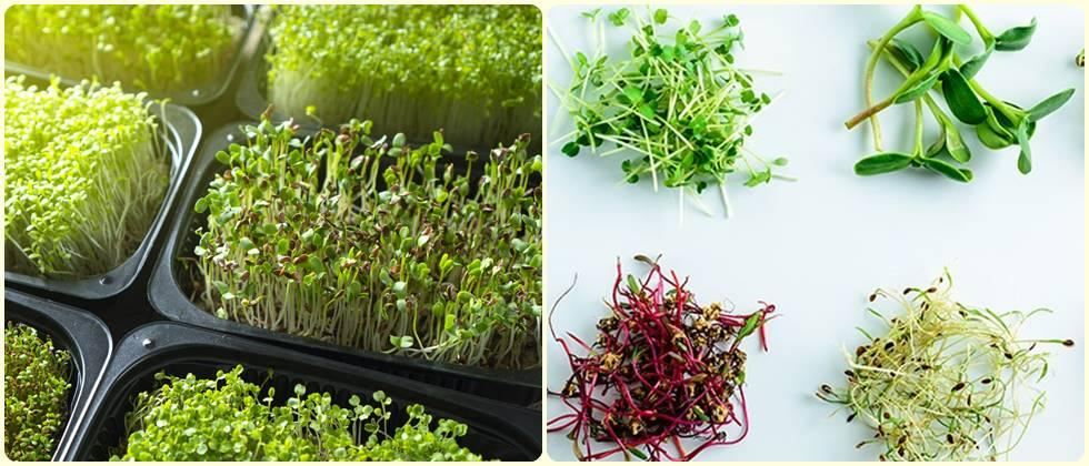 Small but mighty: Microgreens go from trendy vegetables to functional food