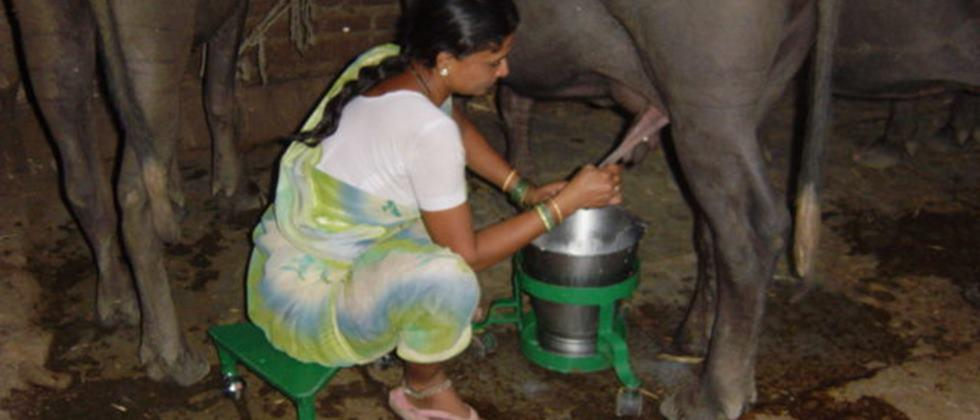 use of tipayi and ghadvanchi for cattle milking