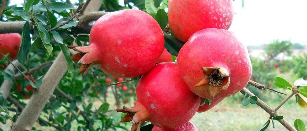 80,000 hectares of pomegranate orchards hit