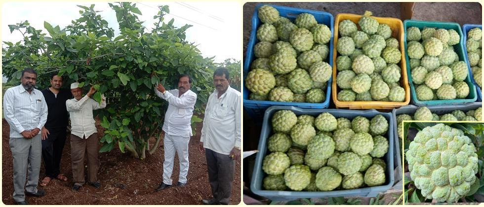 The sonori village is famous for figs, custard apple and other orchards.