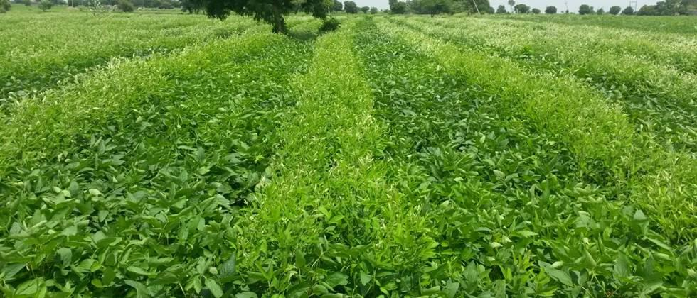 intercropping of soyabean and Pigeon pea