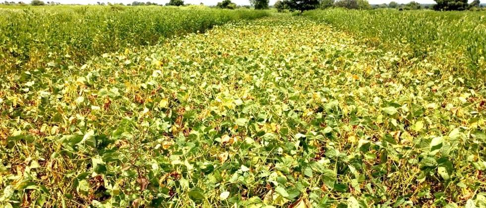 Soybean, cotton relief due to rains in Nanded