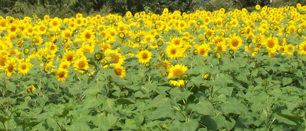 Sunflower germination in Sangola Complaints, inspection by authorities